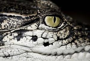 crocodile-1565792 Istock