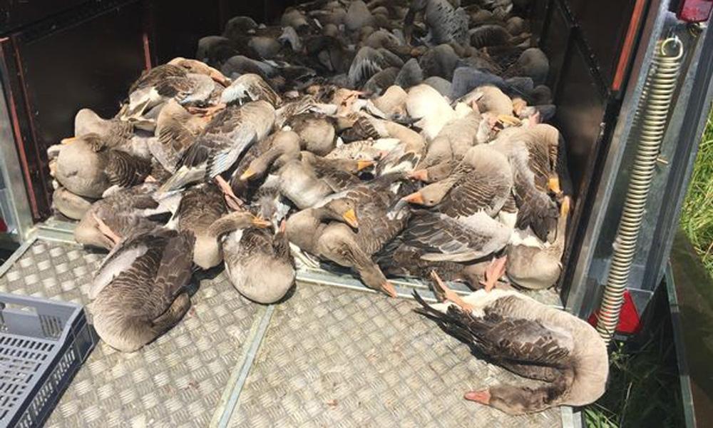 animal-rights-aangifte-dierenmishandeling-en-verboden-gebruik-van-vangkraal-bij-ganzenvergassingen