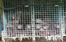 Fur mink farm